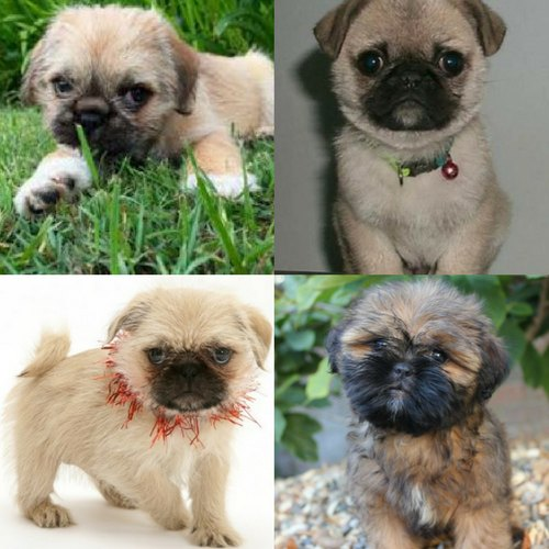 Adorable Pug Cross Breeds Love Ambie