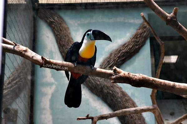 Channel Billed Toucan Shanghai Zoo