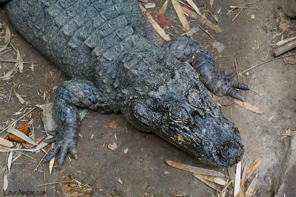 Chinese Alligator Shanghai Zoo