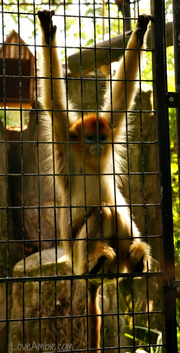 Golden Monkey Hanging Around Shanghai Zoo