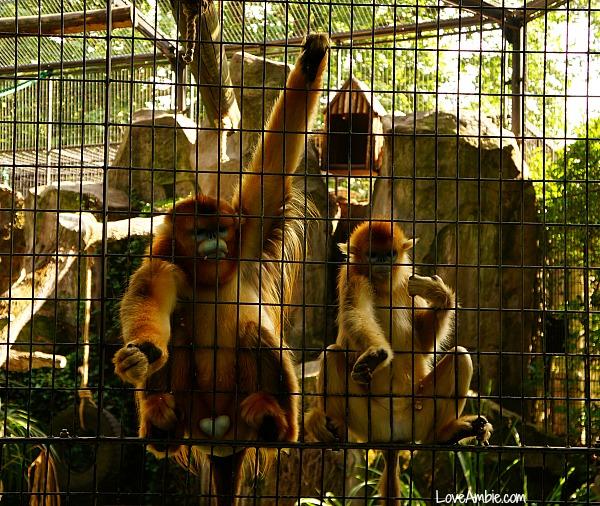 Golden Monkey Shanghai Zoo