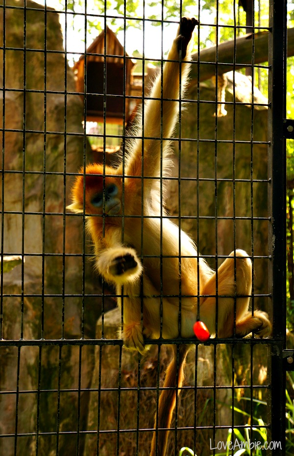 Golden Monkey and Tomato Shanghai Zoo
