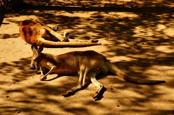 Kangaroo Shanghai Zoo