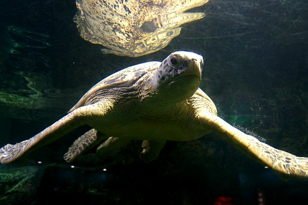 Large Sea Turtle at Shanghai Zoo