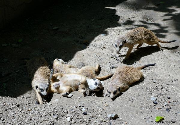 Meerkat Family Shanghai Zoo