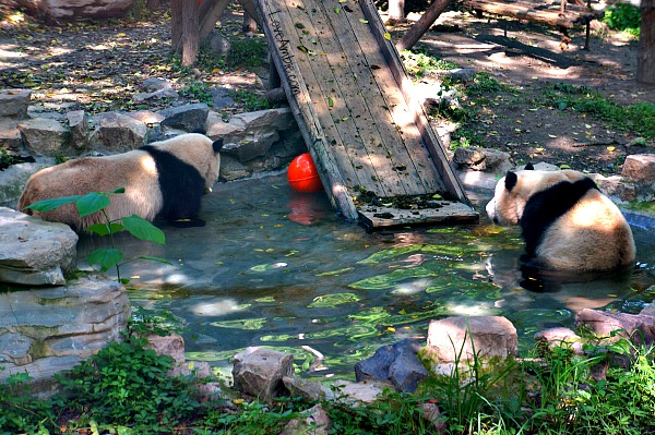 Pandas at Shanghai Zoo