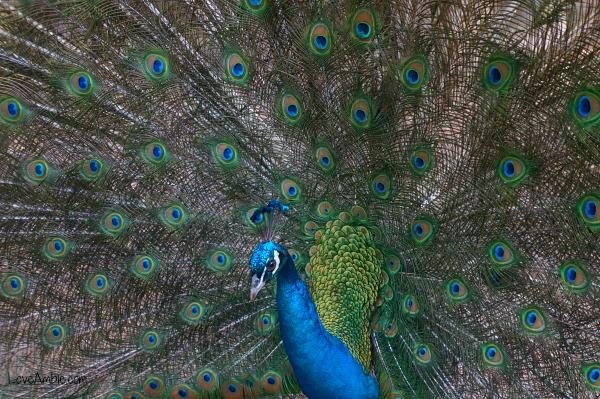 Peacock Shanghai Zoo