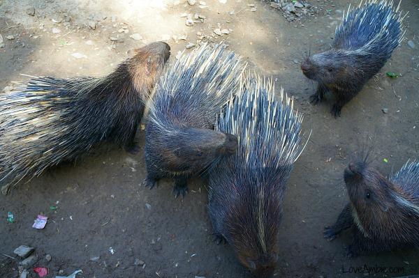 Porcupine Shanghai Zoo