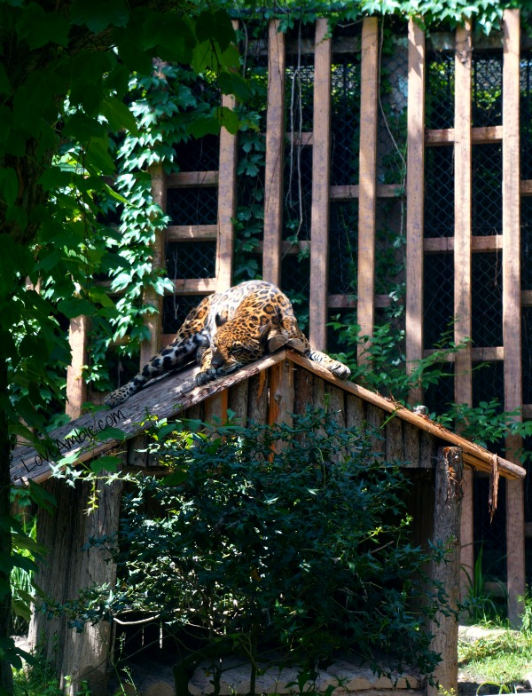 Shanghai Zoo Leopard