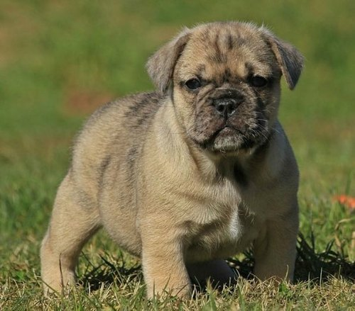 English Bull-Pug - English Bulldog and Pug