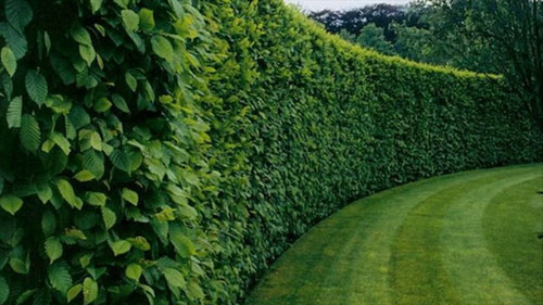 Hedge Fence