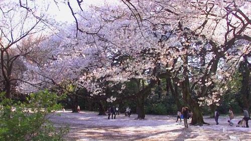 Shinjuku Gyoen Garden - Cherry Blossoms