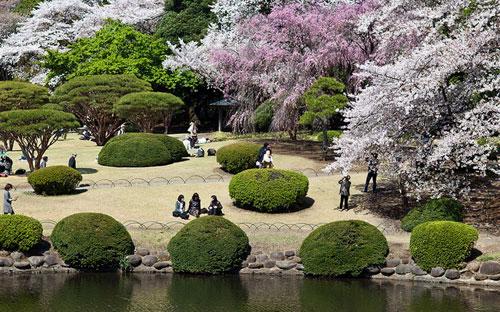 Shinjuku Japanese Garden - Tokyo Garden - Cherry Blossoms