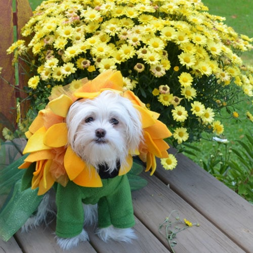 Halloween Dog Costume Ideas - Sunflower Dog Costume