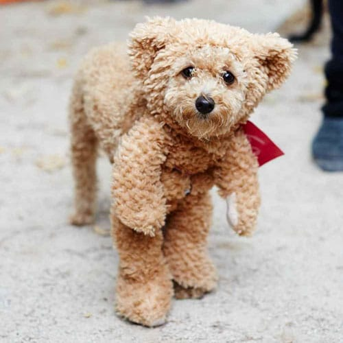Teddy Bear Dog Costume - Creative Dog Costumes